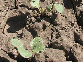 Основной поражающий фактор при выращивании редиса - крестоцветная блошка