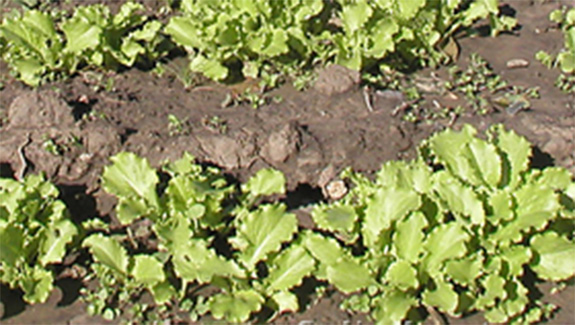 Посеять салат одесский кучерявец