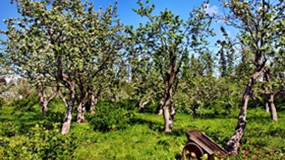 Яблоневый сад. Николай Винокуров / фотобанк Лори